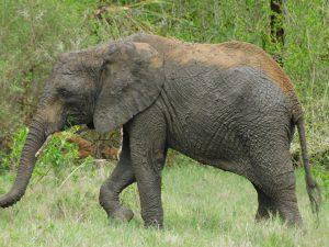 Sonje mit frischer Schlammpackung (c) Sheldrick Wildlife Trust