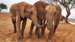 V.l.n.r.: Tagwa, Emoli (versteckt) und Ngilai (c) Sheldrick Wildlife Trust