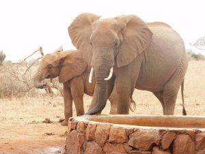 Tamiyoi begrüßt einen wilden Elefantenbullen an der Tränke (c) Sheldrick Wildlife Trust