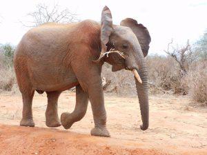 Bomani (c) Sheldrick Wildlife Trust