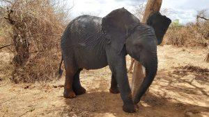 Mapia beim Schubbern (c) Sheldrick Wildlife Trust