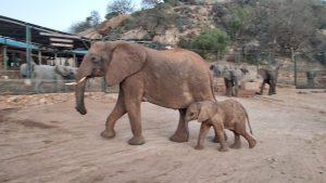 Mulika mit Mkuu (c) Sheldrick Wildlife Trust