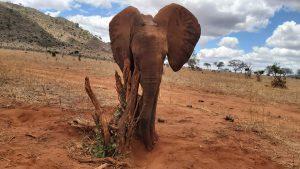 Rorogoi (c) Sheldrick Wildlife Trust