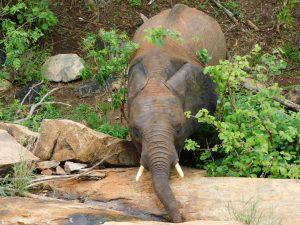 Tusuja (c) Sheldrick Wildlife Trust