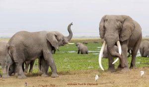 Big Tusker Craig besucht eine Elefantenfamilie