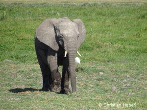 Junger Elefant aus Amboseli