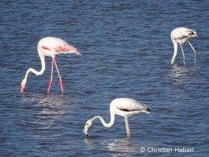 Auch Flamingos kommen in Amboseli vor